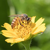 Honning plante