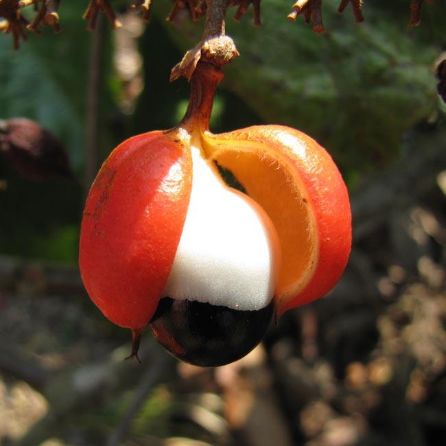 Guarana - et gavnligt middel til energi, sundhed og vægttab